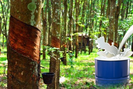 Rubber plantation with pouring latex